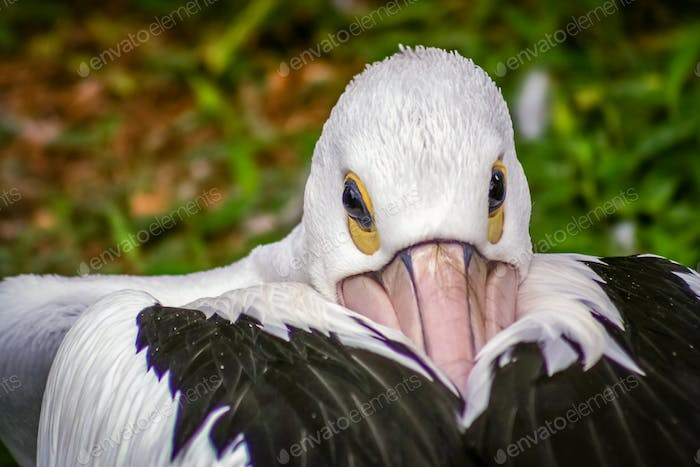 Pelican Bird head