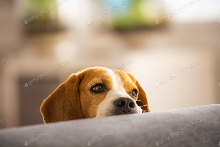 Beagle dog falling asleep and take some rest in funny position. Beautiful dog portrait. Head resting