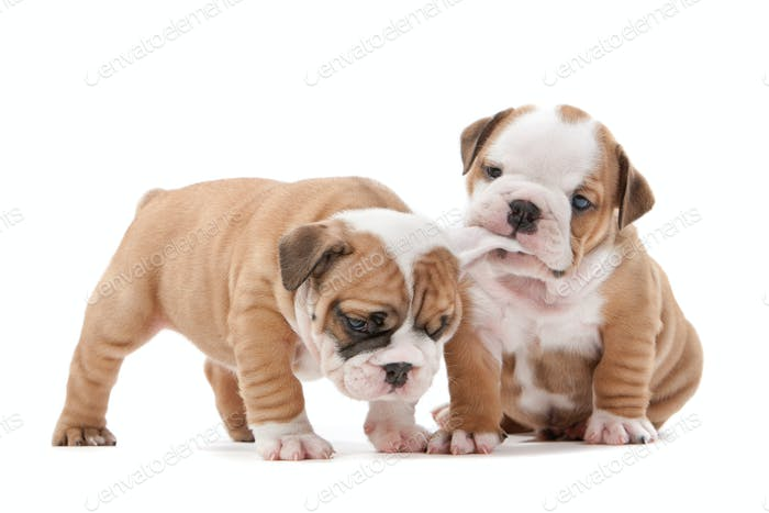 two English bulldog puppies