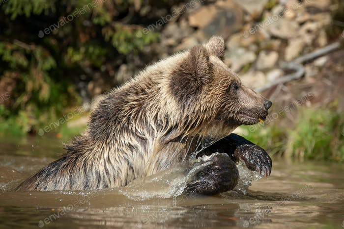 Bear (Ursus arctos) in lake