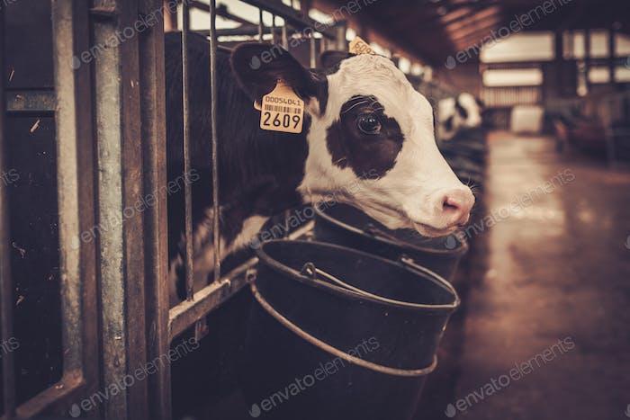 Kälber im Kuhstall im Milchviehbetrieb.
