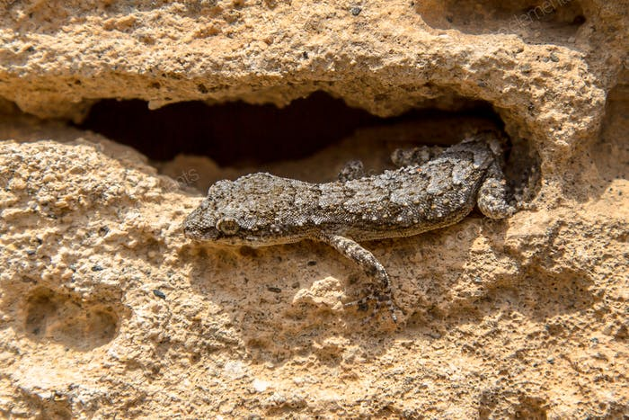 Gecko emerging from hiding place