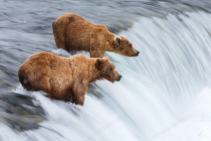 Grizzly Bears Angeln Lachs