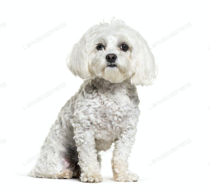 Sitting Maltese Dog, cut-out