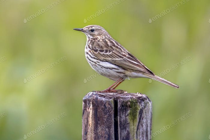 Meadow pipit perched on pole