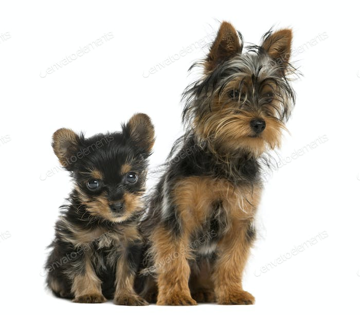 Yorkshire terriers sitting in front of a white background