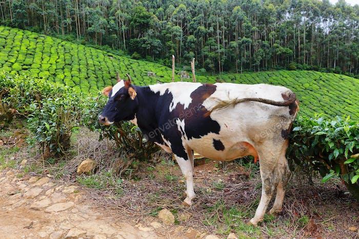 Eine Holsteinkuh in Kolukkumalai Teeplantagen in Munnar, Kerala, Indien