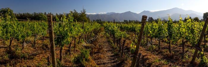 Panoramic shot of a summer vineyard.