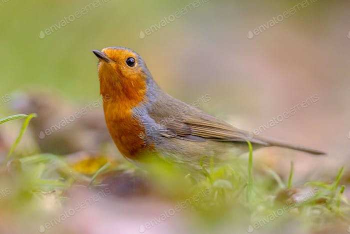 European red Robin in autumnal garden lawn