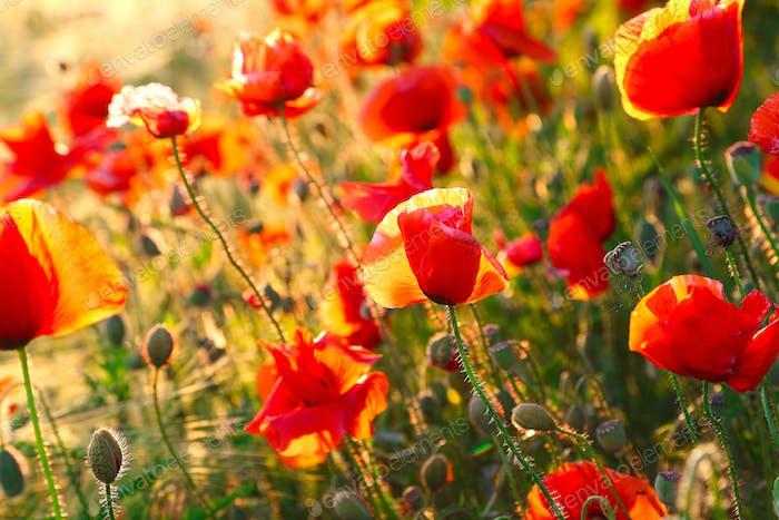 Helle Mohnblumen bei Sonnenuntergang.