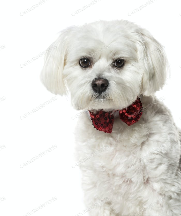 Maltese dog in bow tie against white background