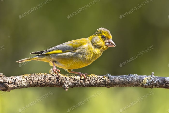 Greenfinch in the sun