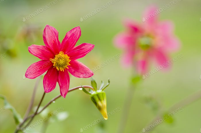Red Mexican dahlia