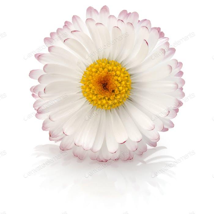 Beautiful single daisy flower isolated on white background cutout