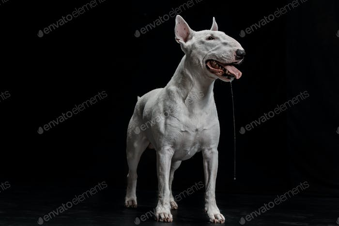 Thumbnail for Bull Terrier type Dog on black background
