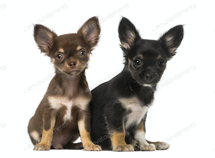 Two chihuahuas sitting