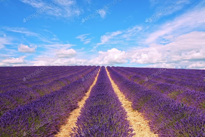 Lavender flowers blooming field and cloudy sky. Valensole, Prove
