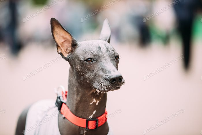 Mexican Hairless Dog In Outfit Playing In City Park. The Xoloitz