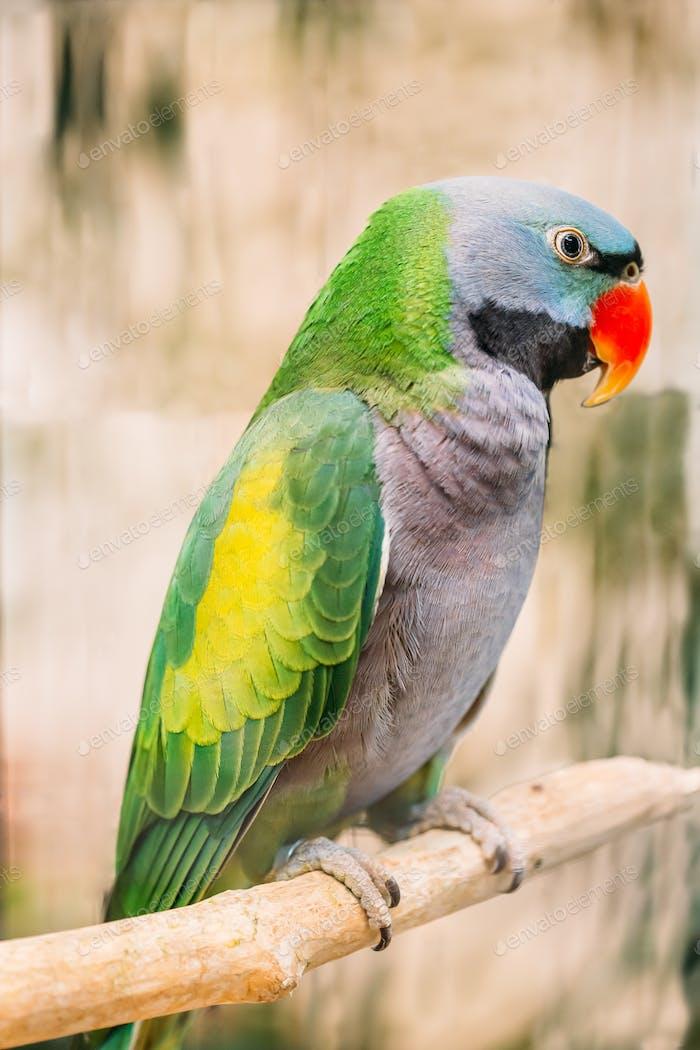 Lord Derby's Parakeet Or Psittacula Derbiana, Also Known As Derbyan Parakeet. Wild Bird In Cage