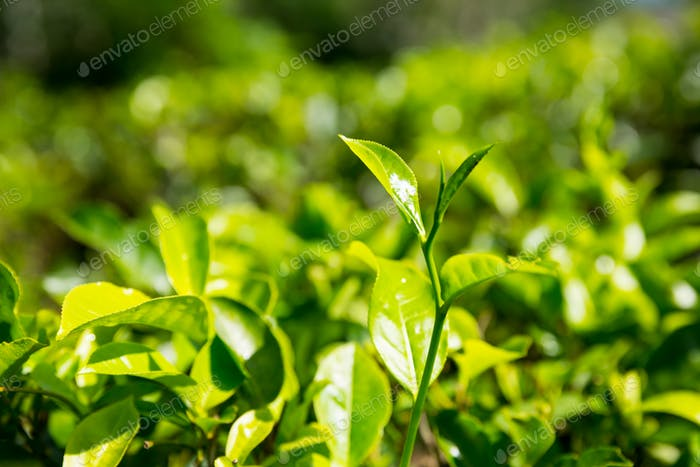Ceylon tea bushes, green plantations of Sri Lanka