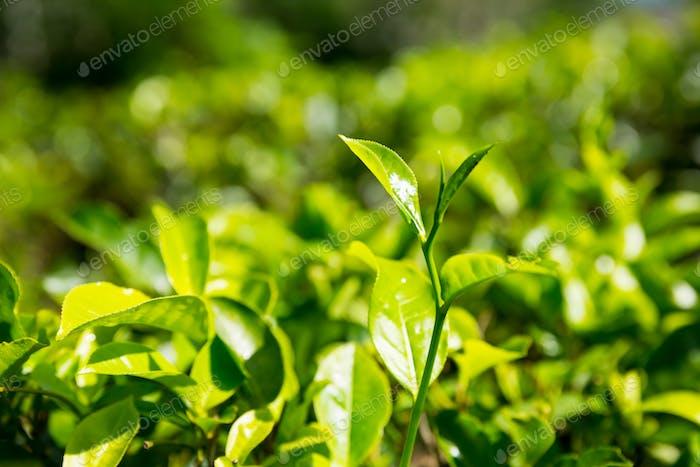 Ceylon tea bushes, green plantations of Sri Lanka