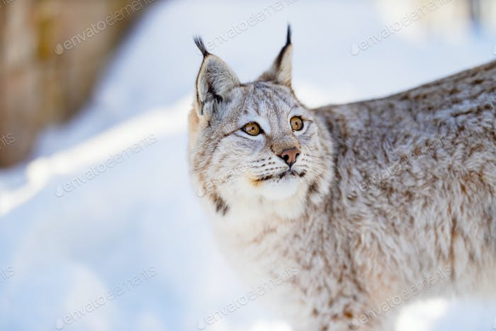 Closeup of Lynx looking away in nature