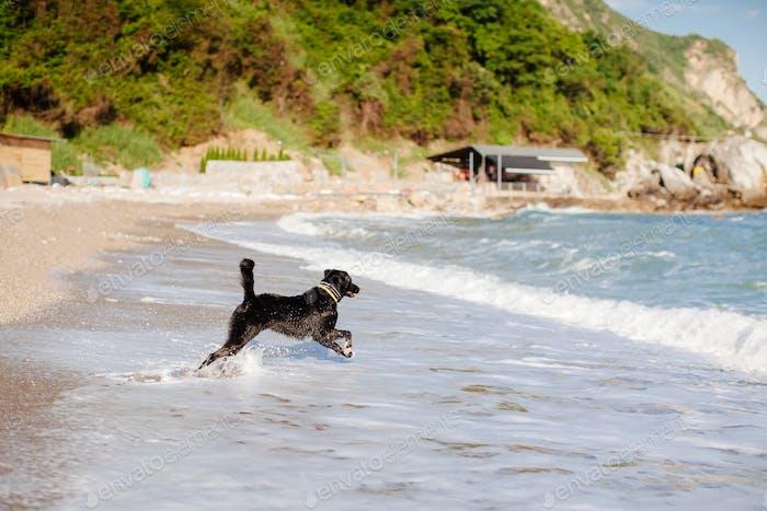 Hund springen ins Meer