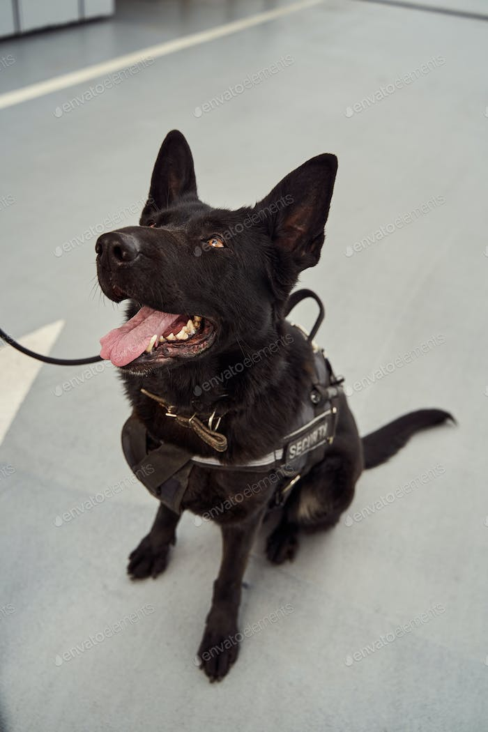 Security dog or detection dog on duty at airport