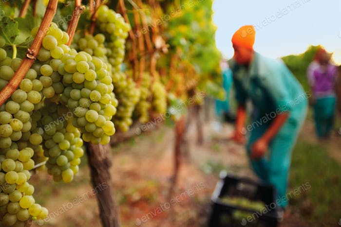 Bunch of grapes at vineyard