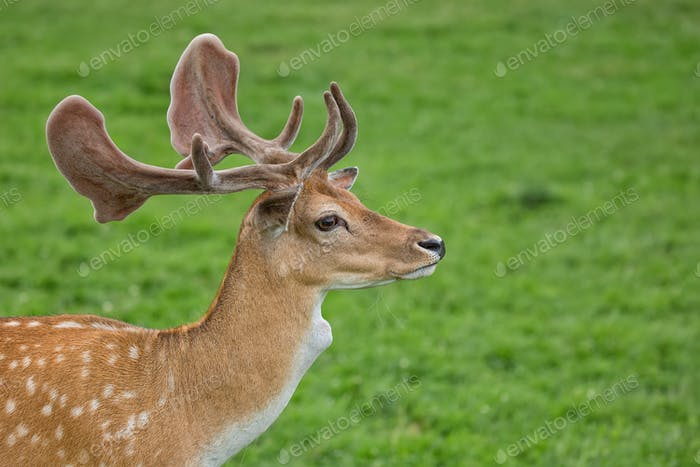 Fallow deer in a clearing, a portrait