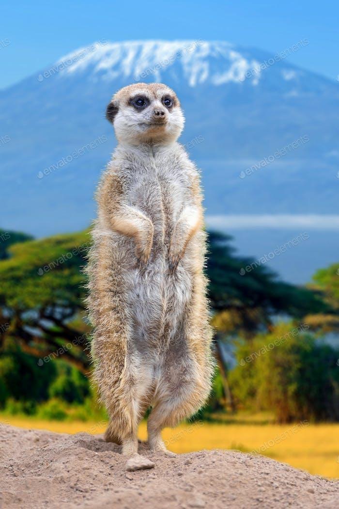 Meerkat standing view