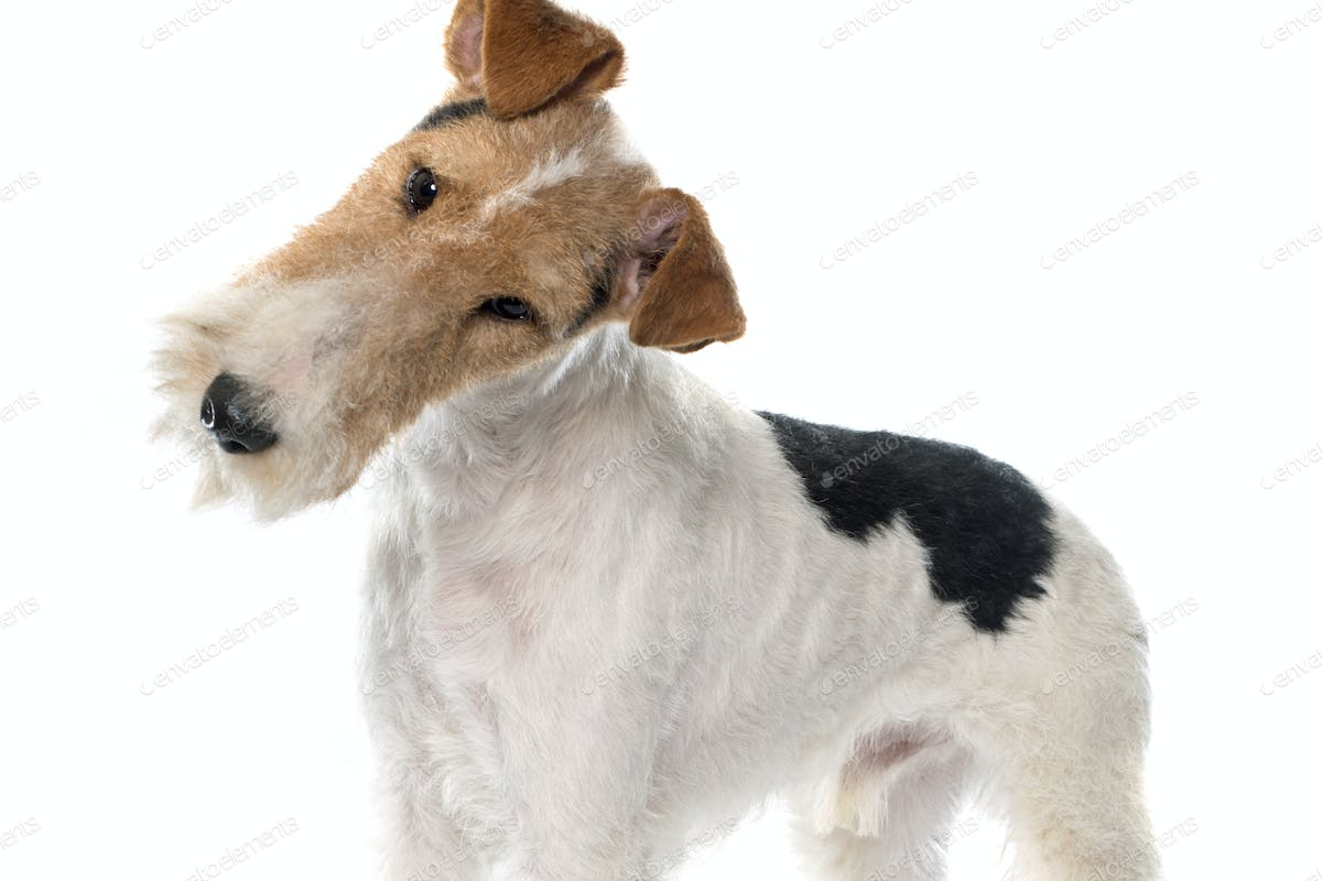 purebred fox terrier photo by cynoclub on Envato Elements