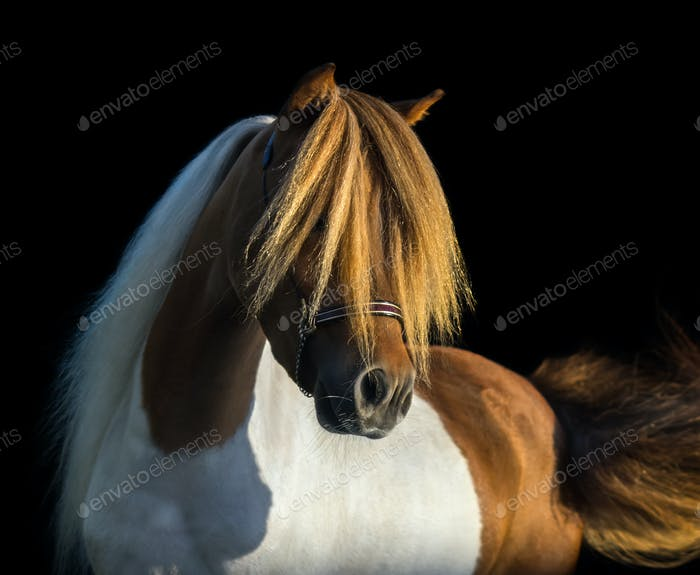 Portrait American Miniature Horse with long white mane and gold forelock.