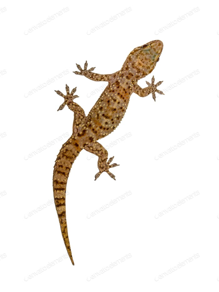 Gecko on white wall