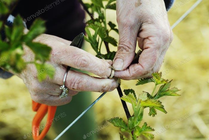 Una mujer atando en brotes de una planta con cuerda.