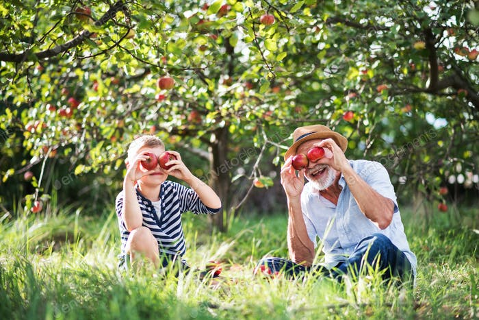 A senior man with grandson having fun when picking apples in orchard in autumn.