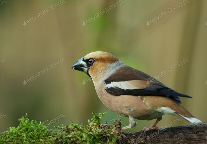 Hawfinch (Coccothraustes coccothraustes) perching