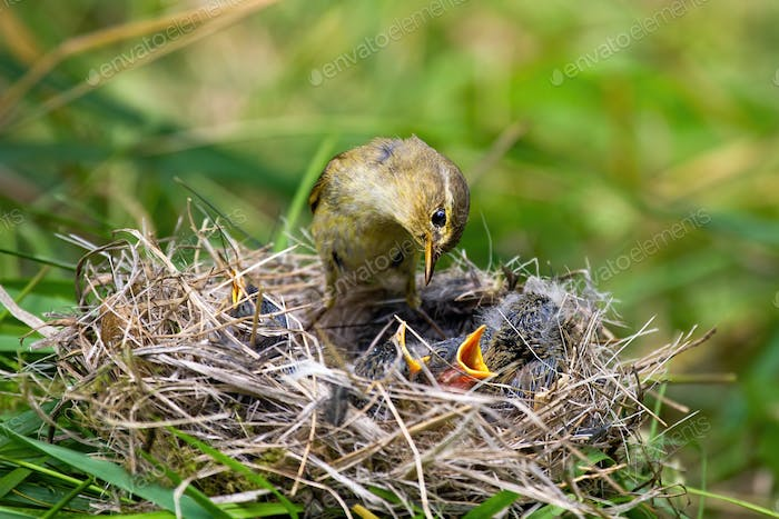 willow warbler feeding little chicks on nest in summer nature