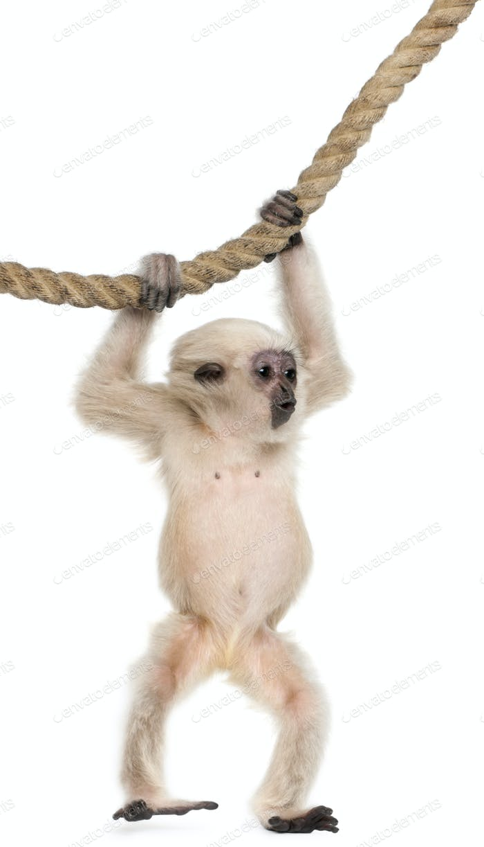 Young Pileated Gibbon