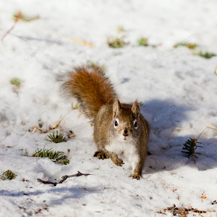 Alert cute American Red Squirrel in winter snow