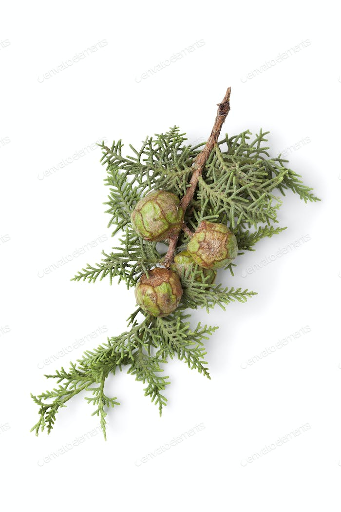 Mediterranean Cypress cones and foliage