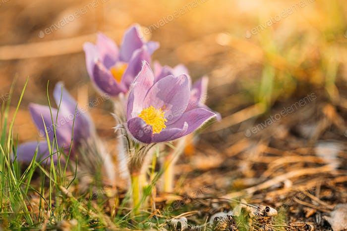 Weißrussland. Wilde Frühlingsblumen Pulsatilla Patens. Blühende Pflanze In Familie Ranunculaceae, Native To