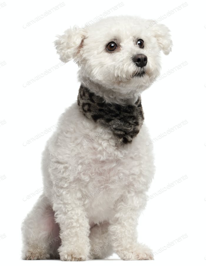 Bichon Frise, 3 years old, sitting in front of white background