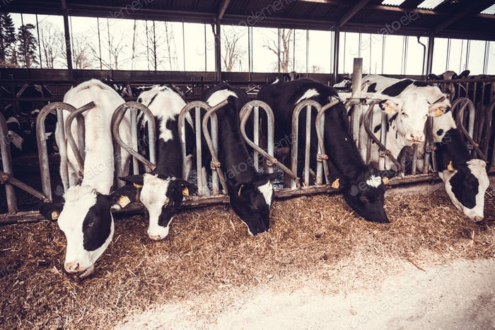 cows in the hangar. Cows on Farm