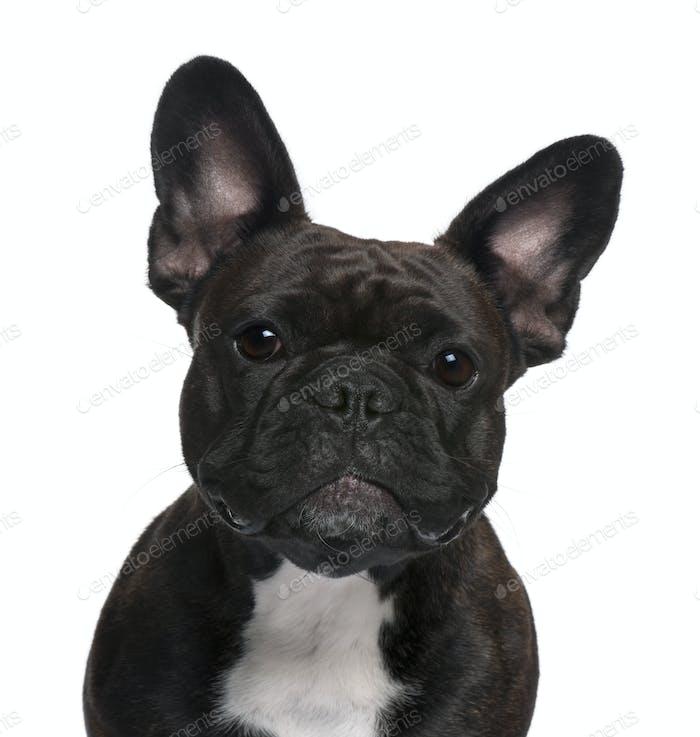 Nahaufnahme der französischen Bulldogge, 18 Monate alt, vor weißem Hintergrund