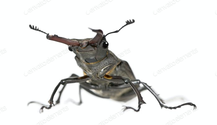 Male European Stag beetle, Lucanus cervus, against white background, studio shot