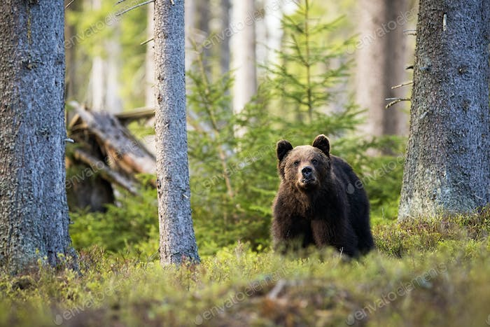 Majestic brown bear standing in mountain forest between blueberry bushes