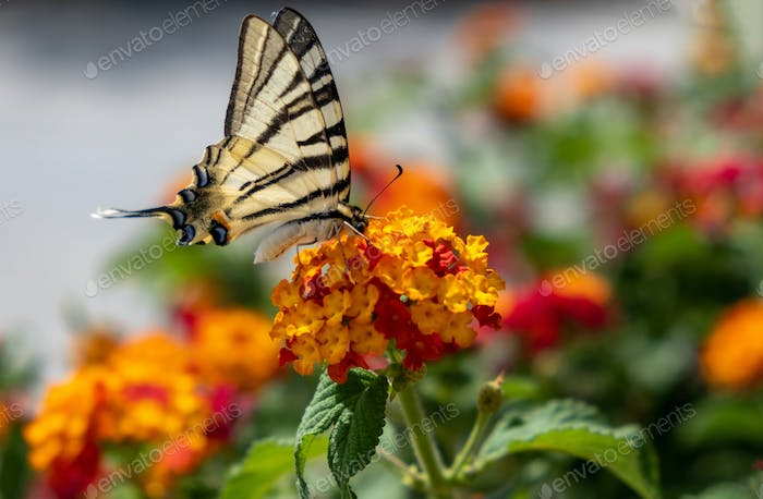 Butterfly on lantana red yellow color flowers. Swallowtail insect feeding on a blooming plant