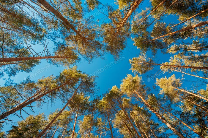 Looking Up In Beautiful Pine Coniferous Forest Trees Woods