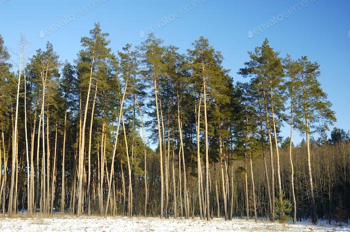 Высокие гладкие снежные сосны стоят на краю леса